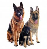 stock photo of german shepherd  - couple of a purebred german shepherd and his puppy in front of white background - JPG