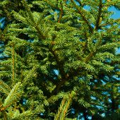 Fir Tree Background With Green Branch, Fluffy Young Branch Fir Tree With Needles poster