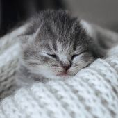 Newborn Cute Kitten Sleeping In A Warm Wool Scarf, Blanket. Little Sleeping Cat. Scottish Fold Strip poster