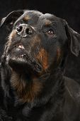Pure Bred Rottweiler