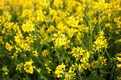 Rapeseed Field, Blooming Canola Flowers Close Up. Rape On The Field In Summer. Bright Yellow Rapesee poster