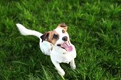 Purebred Jack Russell Terrier Dog Outdoors On Nature In The Grass On A Summer Day. Happy Dog ​​sits  poster