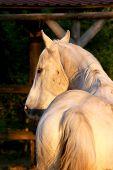 Portrait Of A Purebred Gray Arabian Stallion. Closeup Of A Young Purebred Horse. Purebred Young Shag poster