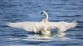Trumpeter Swan With Completely Spread Wingspan. This Trumpeter Swan Has His Wingspan Fully Extended  poster