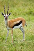 Male Thomson's Gazelle Looking Forward