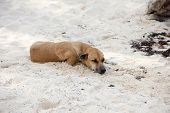 Brown Shorthair Dog Sleeps On The Shore On The White Sand. The Concept Of Rest And Relaxation. poster
