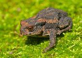 Young Toad (bufo Gargarizans)