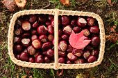 Basket With Chesnuts And A Red Maple Leaf