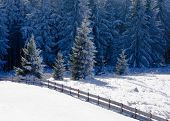 Beautiful frozen fir forest snowy winter landscape