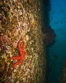 Sea star on rock wall