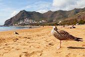 Seagull In Las Teresitas Beach, Tenerife