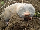 A mole on a clod
