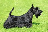 stock photo of scottish terrier  - The portrait of Scottish Terrier in the garden - JPG