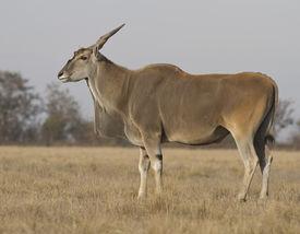 stock photo of eland  - Male eland in the autumn Ukrainian steppe - JPG