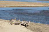 Waterbuck Family On Sandbank