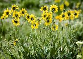 foto of wildflower  - Bright colorful yellow aster wildflowers in Wyoming meadow