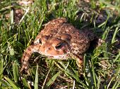 Toad In Grass 1 Of 3