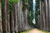 The Palm Alley In The Botanical Garden In Rio De Janeiro