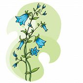 Campanula  - Vector Background.