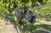 Pinot Noir Red Wine Grapes