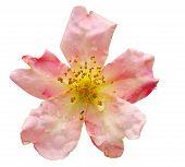 Rosa Odorata Mutabilis (china Rose)