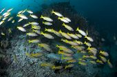 stock photo of bigeye  - School of Bigeye Snapper  - JPG