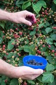 Blackberry bush with hands picking fruit