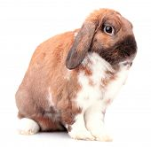 Lop-eared rabbit isolated on white