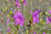 Flowers Of Rhododendron (rhododendron Mucronulatum)