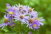 Wildflower, the Michaelmas daisy or Aster novae angliae growing wild in Alberta. Native to much of C