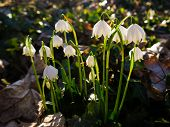 picture of lent  - Lent Lilies growing in a park in Germany - JPG