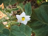 White colour Brinjal flower waiting for pollination