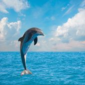 pic of dolphins  - one of jumping dolphins - JPG