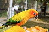 Sun Conure Parrot On A Tree Branch