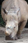 White Square-lipped Rhinoceros