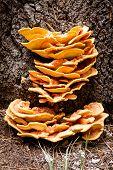 Sulfur fungus