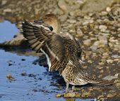 picture of pintail  - Pintail - Anas acuta