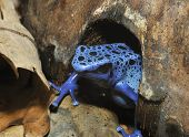 pic of poison arrow frog  - Blue Poison Frog - Dendrobates tinctorius azureus