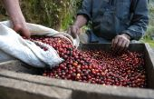 picture of coffee coffee plant  - Red coffee beans in Guatemala mountains La Democratia - JPG