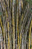 Dense plantation or stand of bamboo canes, a fast growing grass cultivated for its woody culms used