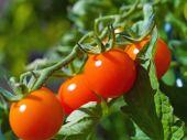rote reife Tomaten auf die Weinrebe