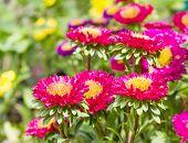 Aster Flower In Garden