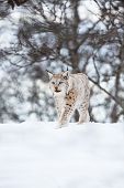 stock photo of sneak  - A european lynx sneaks in the winter forest - JPG