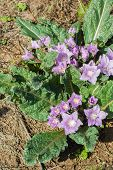image of hermaphrodite  - Mandrake mandragora plant and flowers in wild mountain - JPG
