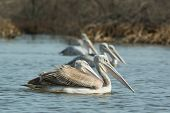 Group Of Pink-backed Pelicans Floating In The Mangroves