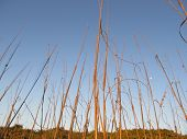 pic of sea oats  - Sunlit Sea Oats with a blue sky - JPG