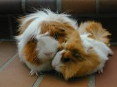 Mother And Son Cavy Pair