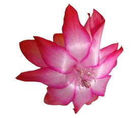 foto of schlumbergera  - Flower Decembrists  - JPG