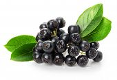 picture of aronia  - black ashberry isolated on the white background - JPG