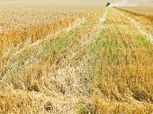 Harvested Part In Wheat Field